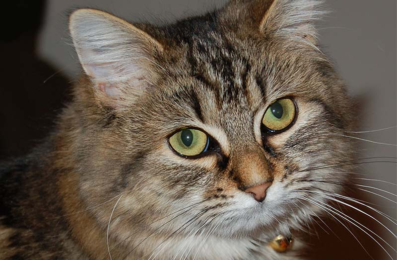 hardwick-veterinary-clinic-tiger-cat